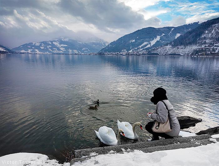 Feeding of swans. Zell am See, Austria.