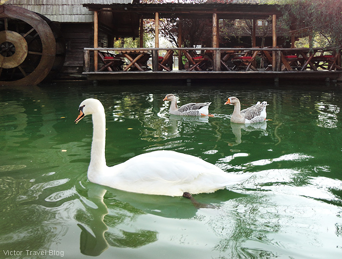 Swans. The traditional village of Stanisici, Bosnia.