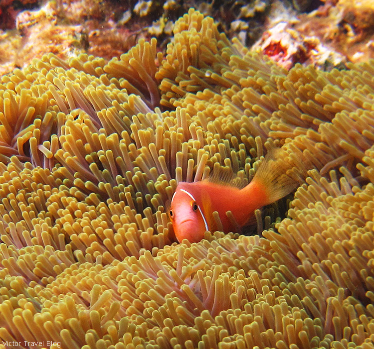 A clownfish, more commonly known as Nemo. Fihalhohi Island Resort, the Maldives.