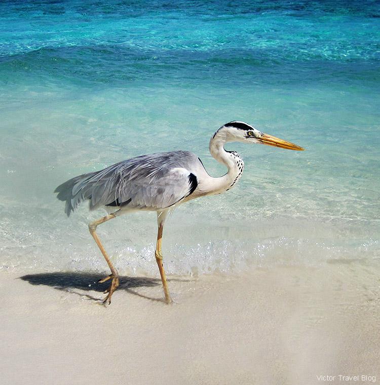 A heron. Fihalhohi Island Resort, the Maldives.