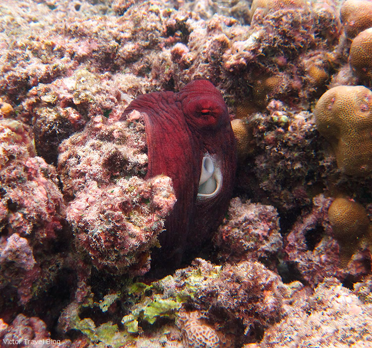 An octopus. Fihalhohi Island Resort, the Maldives.