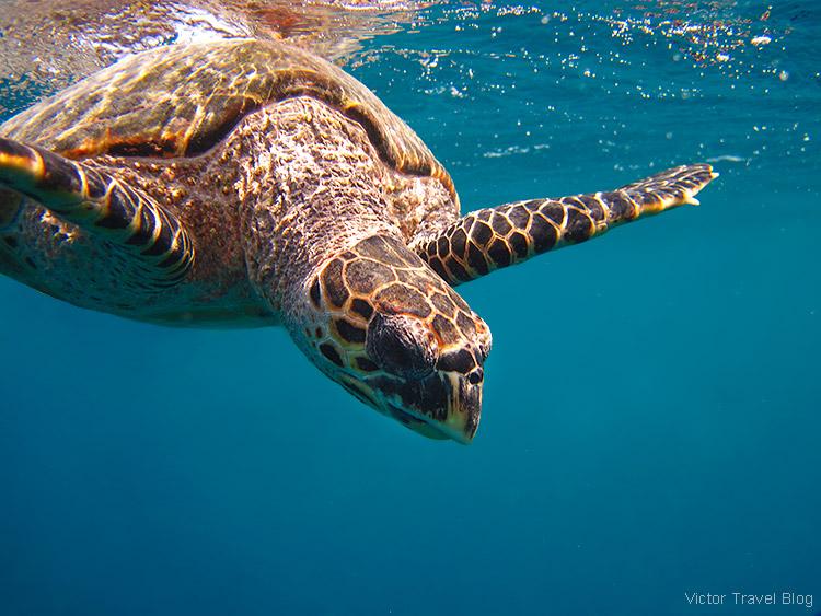 A sea turtle. Fihalhohi Island Resort, the Maldives.