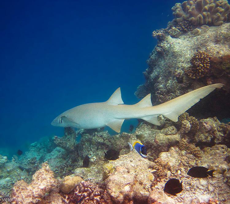 A shark. Fihalhohi Island Resort, the Maldives.
