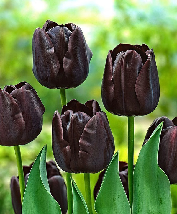 A black tulip, the Netherlands.