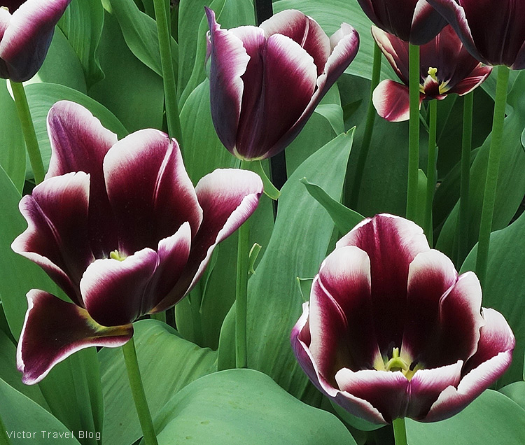 A tulip African King - The Keukenhof Tulip Gardens, Holland, the Netherlands.