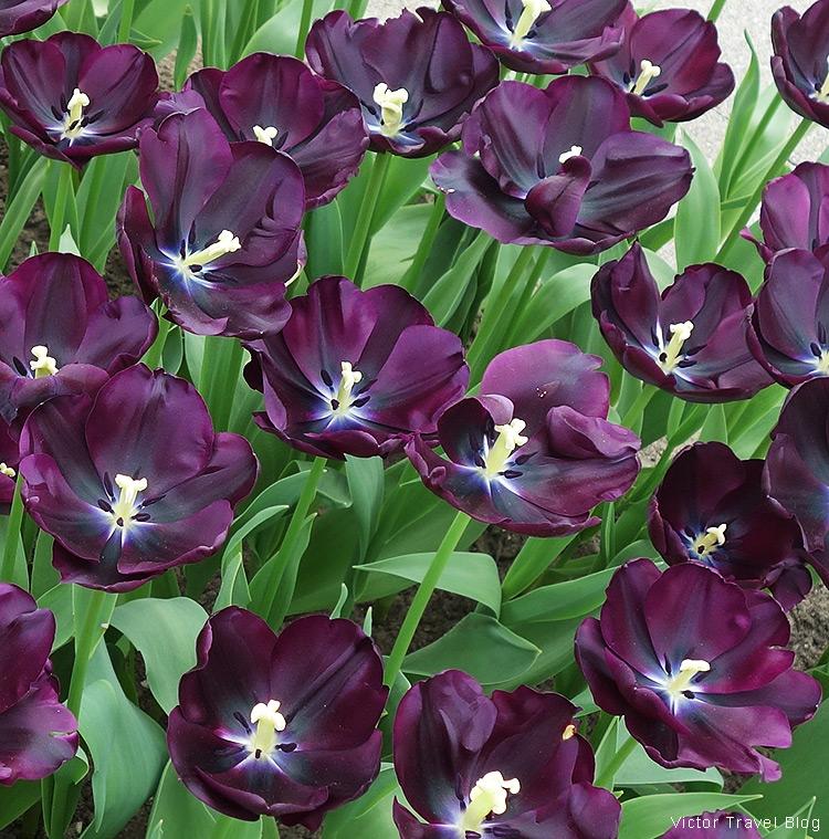 A tulip Paul Scherer - The Keukenhof Tulip Gardens, Holland, the Netherlands.