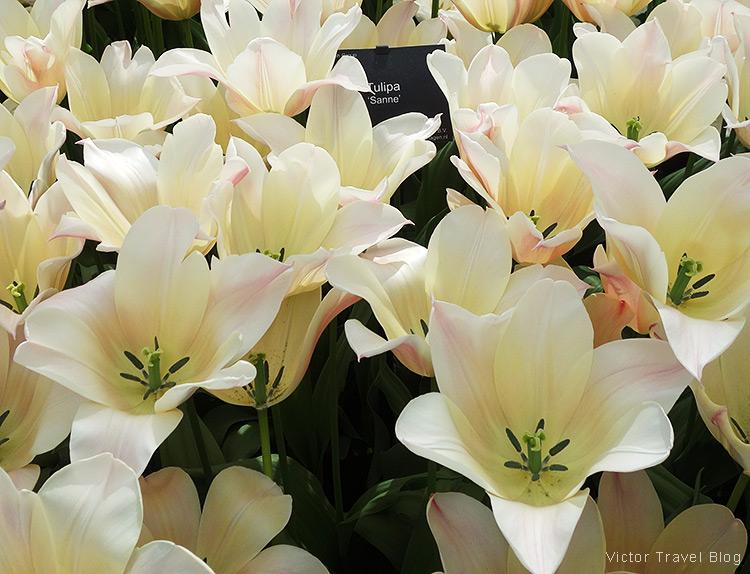 A tulip Sanne - The Keukenhof Tulip Gardens, Holland, the Netherlands.