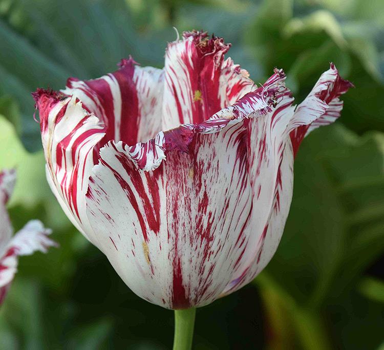 A tulip Semper Augustus