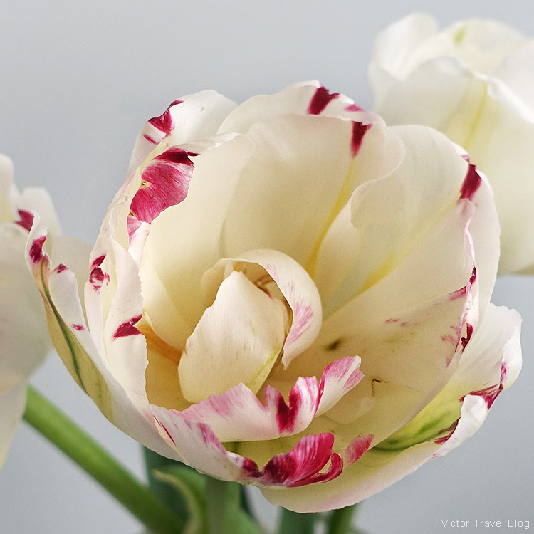 A tulip from our garden.