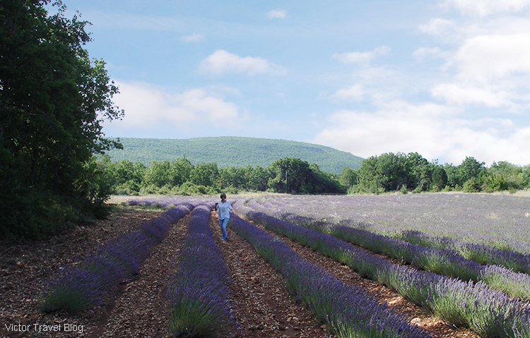 A lavender field, Provence, France.