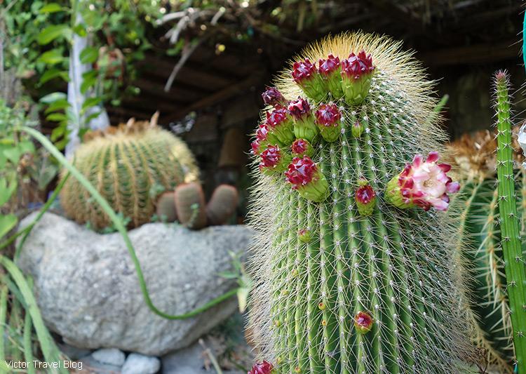 Red flowers of a cactus. Cactus Park, Ischia, Italy.