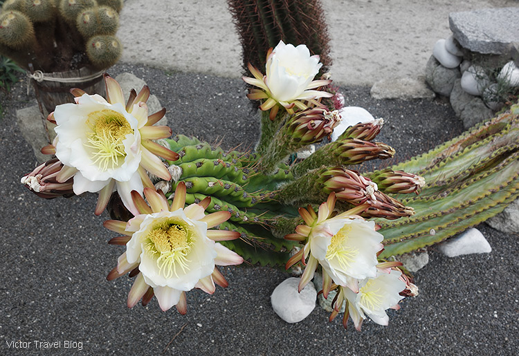 A cactus with white flowers. Cactus Park, Ischia, Italy.